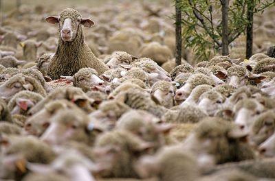 sheep mailveld.jpg